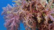 Soft coral tracking smooth