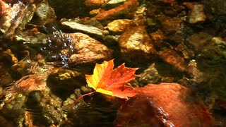 maple leaf floats down clear stream