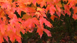 Pull back to view lower portion of maple tree in autumn colours